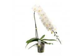 Phalaenopsis formidablo 1 ramo 20+ 90cm