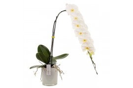 Phalaenopsis formidablo gfo171ts 1 ramo in style vetro