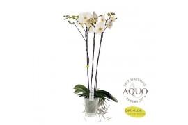 Phalaenopsis fortuno 3 ramo 18+ 100cm