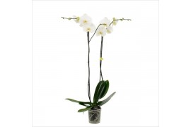 Phalaenopsis bijoux diamond 2 ramo 14+ 90cm