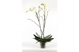 Phalaenopsis fortuno 2 ramo 14+ 100cm