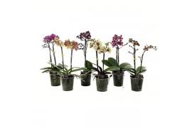 Phalaenopsis multiflora misto ratatouille 2 ramo 15+ 45cm