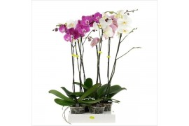Phalaenopsis misto 2 ramo 14+ 100cm