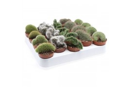 Cactus misto cristaat misto 107