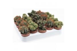 Cereus peruvianus monstrosus misto 106