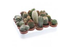 Cactus misto 100