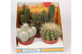 Cactus misto 161 in scatola decorativa