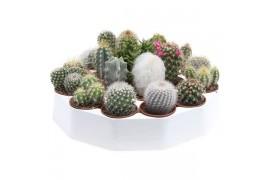 Cactus misto rondo 104