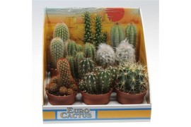 Cactus misto 1015 in scatola decorativa