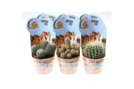 Cactus misto indian line 3013 + cachepot