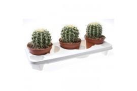 Echinocactus grussonii 2100