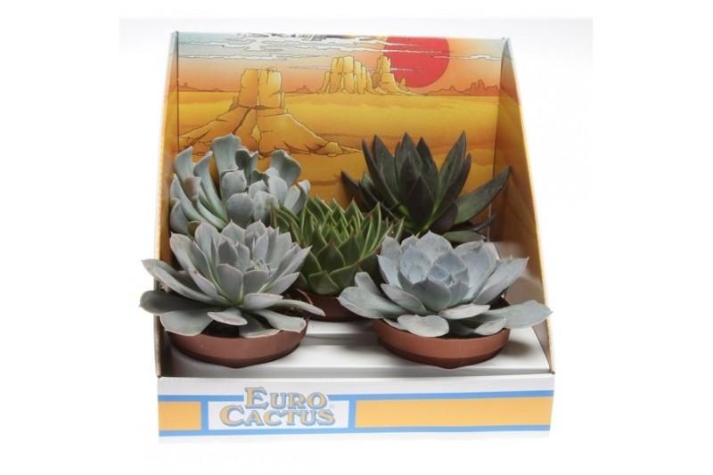 Succulenten misto 1028 in scatola decorativa