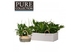 Spathiphyllum chopin pc15-124 6+ fiore in fieldbasket iii