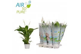 Spathiphyllum strauss 3+ fiore air so pure