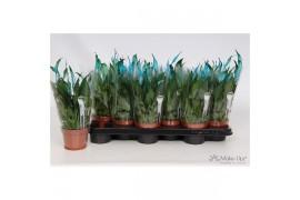Spathiphyllum chopin make-upz blu 8+ fiore