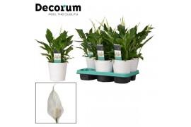 Spathiphyllum bellini 12016 decorum 6+ fiore in wave ceramica