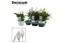 Spathiphyllum chopin karla ceramica 8+ fiore