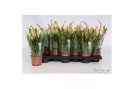 Spathiphyllum chopin 6+ fiore oranje