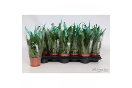 Spathiphyllum chopin 6+ fiore aqua