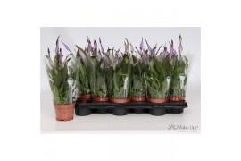 Spathiphyllum chopin 6+ fiore viola