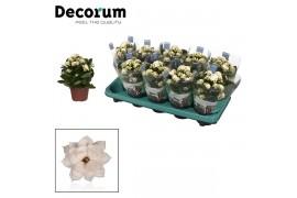Kalanchoe calandiva bianco decorum
