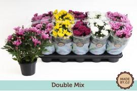 Chrysanthemum ind. misto double