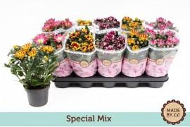 Chrysanthemum ind. misto special