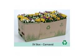Chrysanthemum misto per Vaso