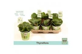 Kalanchoe thyrsiflora k12gr103 green by.co