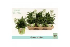 Kalanchoe green spider k12gr102 green by.co