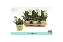 Kalanchoe tomentosa k12gr104 green by.co