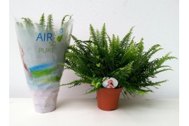 Nephrolepis exaltata green lady air so pure