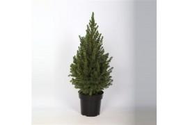 Picea glauca conica 60-70cm