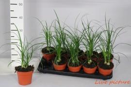 Beaucarnea recurvata2-3 p.p. x10