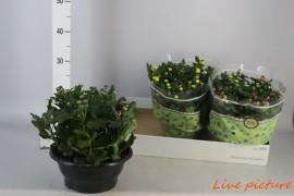 Chrysanthemum ind. mix x3