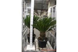 Cycas revoluta35+ leaves x1