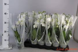 Phalaenopsis anthura venice12 bl.,2 tak/plnt,wit x18