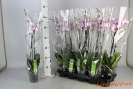 Phalaenopsis roze2 tak 20+ x10