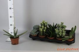Succulenten mixsucculentenmix per bak x10