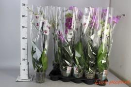 Phalaenopsis mix2 tak 12 + x10