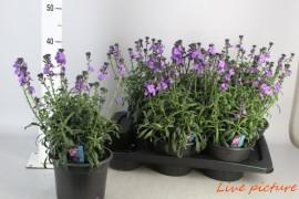 Erysimum linifolium x6