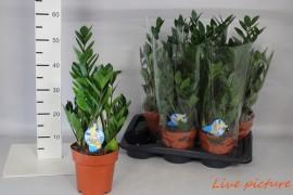 Zamioculcas zamiifolia8 _ blad x6