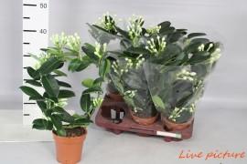 Stephanotis floribunda11-13 x6