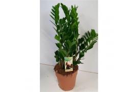 Zamioculcas zamiifolia x1