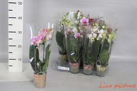 Phalaenopsis multiflora kolibri mix2 tak x12