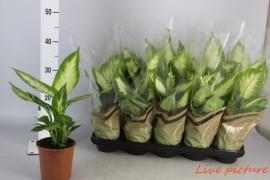 Dieffenbachia camilla x10