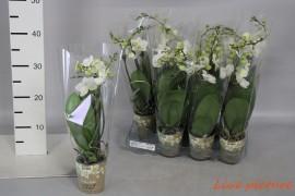 Phalaenopsis multiflora kolibri amabilis wit gb2 tak wit grbl met potcover x12