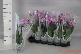 Phalaenopsis anthura manchester2 tak 12 + x18