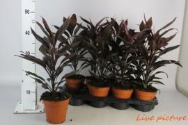 Cordyline fruticosa tango x8