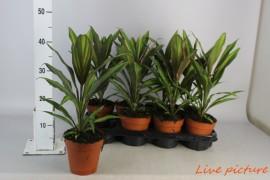 Cordyline kiwi x8